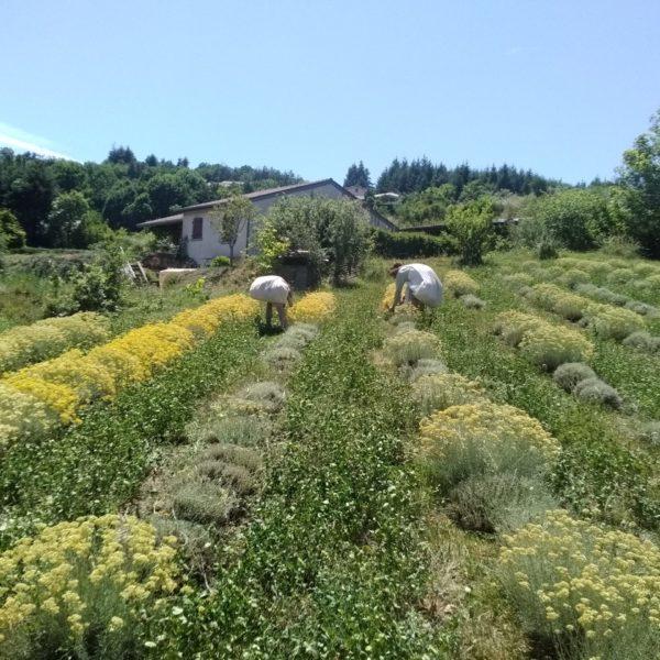 Récolte Hélichryse italienne