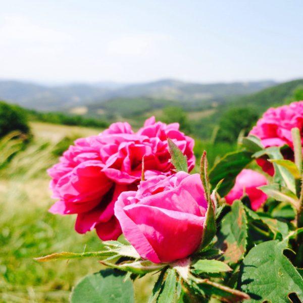 Rose Rosiers